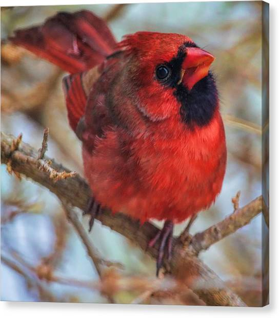 Inquisitive Cardinal Canvas Print