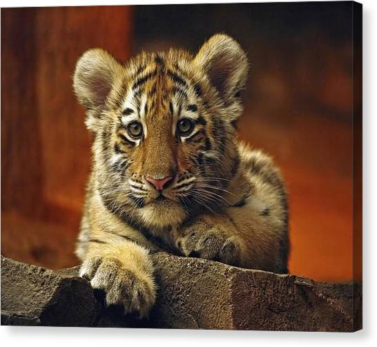 Inquisitive Cub Canvas Print