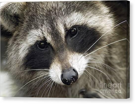 Inquisitive Raccoon Canvas Print