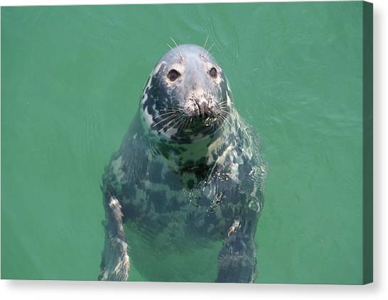 Inquisitive Seal Canvas Print