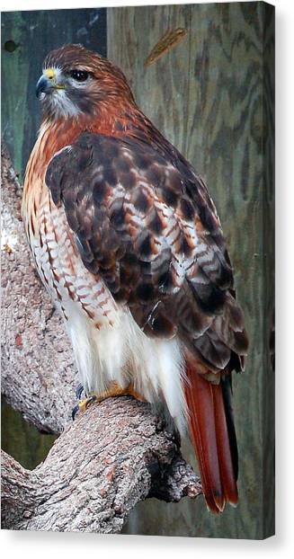 Inquisitve Red Tailed Male Hawk Canvas Print