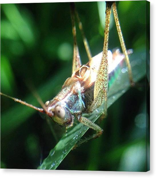 Grasshoppers Canvas Print - #insects #insect #bug #bugs #amazing by Nancy Hall