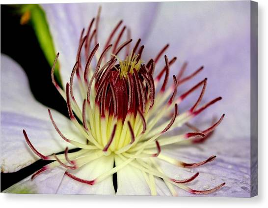 Inside A Clematis Canvas Print