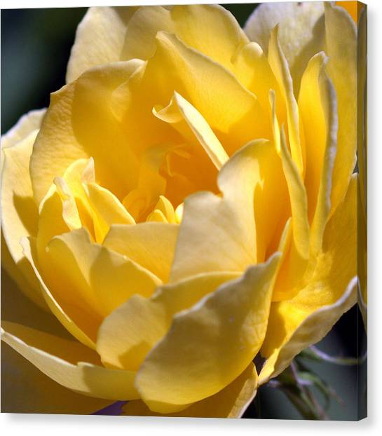 Inside The Yellow Rose Canvas Print