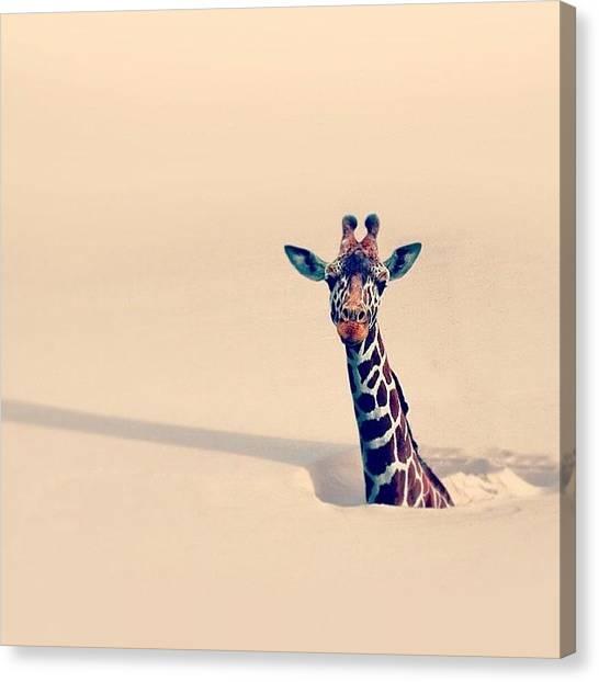 Giraffes Canvas Print - Instagram Photo by Dario Tellez