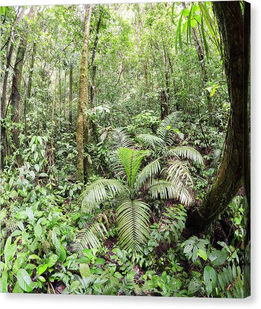 Amazon Rainforest Canvas Print - Interior Of Tropical Rainforest by Dr Morley Read