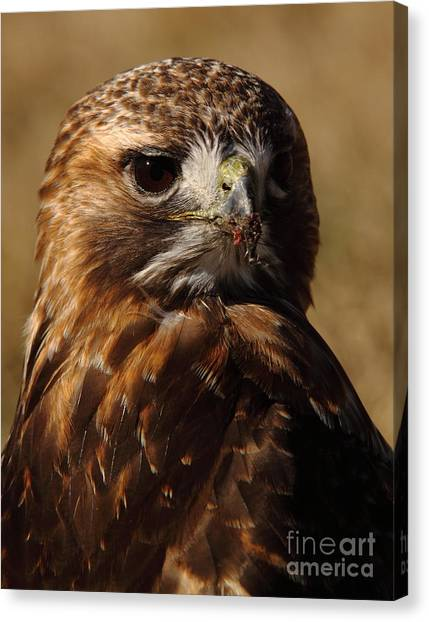 Carcass Canvas Print - Red Tailed Hawk Portrait by Robert Frederick