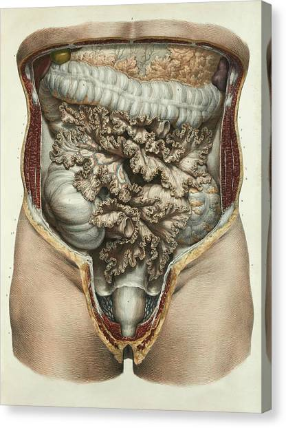 Groin Canvas Print - Intestines And Mesentery by Science Photo Library