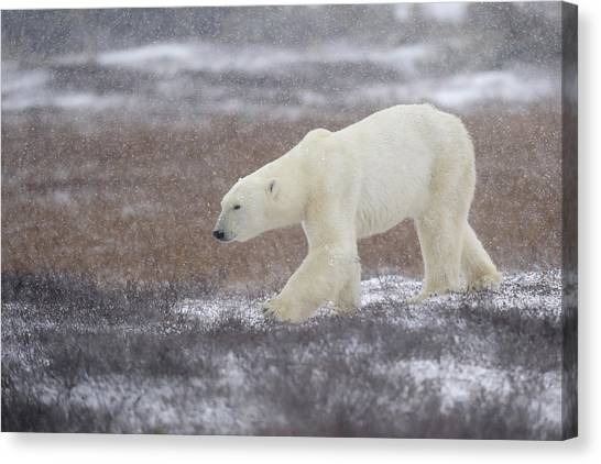 Polar Bears Canvas Print - Into The Storm by Marco Pozzi