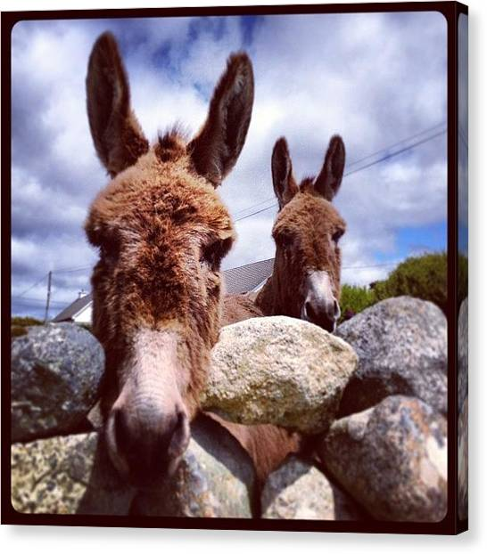 Donkeys Canvas Print - #ireland #galway #donkeys #stone #wall by Tommy Fitzgerald