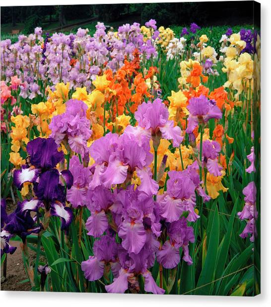 Iris. Canvas Print by Anthony Cooper/science Photo Library
