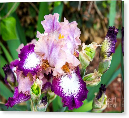 Iris Beauty Canvas Print by Sue Huffer