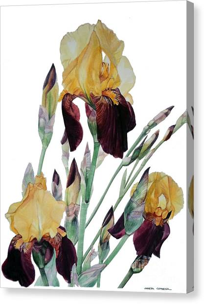 Watercolor Of Tall Bearded Iris In Yellow And Maroon I Call Iris Beethoven Canvas Print