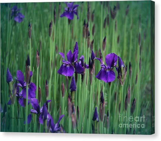 Iris Field Canvas Print by Yumi Johnson