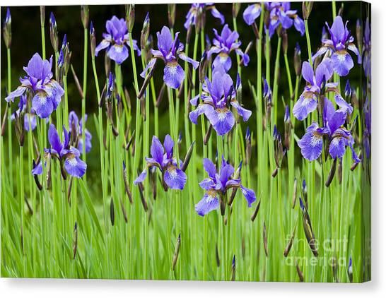 Iris Garden Canvas Print