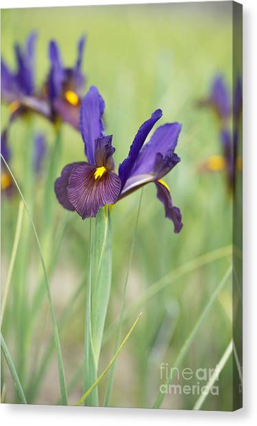 The Tiger Canvas Print - Iris Hollandica 'eye Of The Tiger' by Tim Gainey