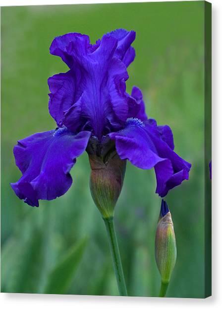 Iris Majesty Canvas Print