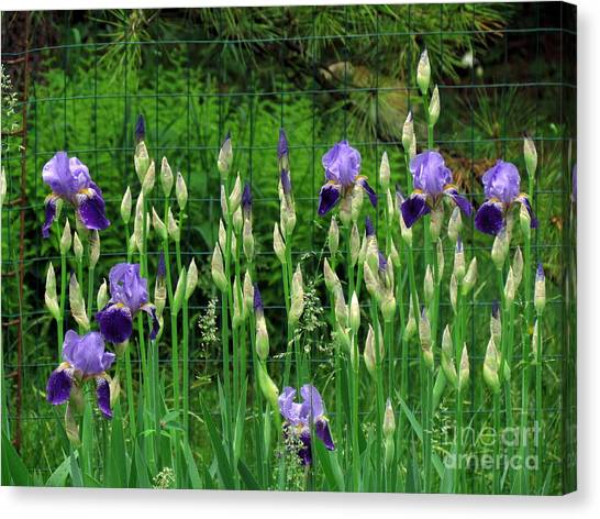 Irises Along The Fence Canvas Print