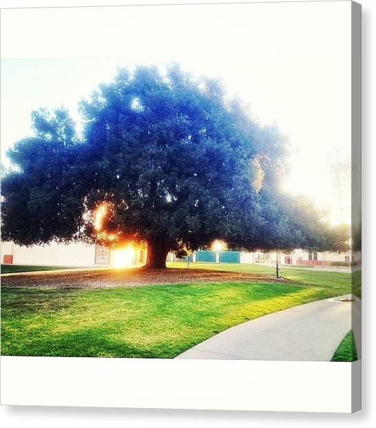 Ucsb Canvas Print - Is It Weird To Have A Favorite Tree? by Mckenzie Kane