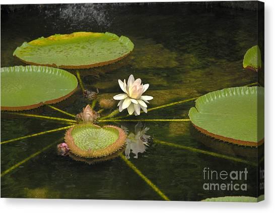 Ischian Waterlily Canvas Print