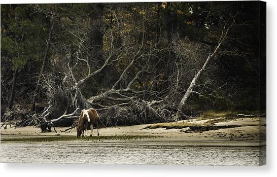 Island Pony Canvas Print