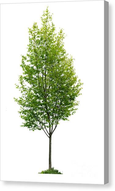 Spring Trees Canvas Print - Isolated Young Tree by Elena Elisseeva