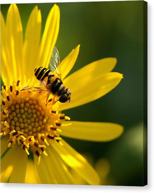 Its A Bees Life IIi Canvas Print by Kathi Isserman