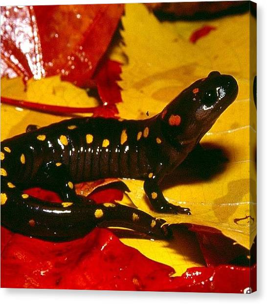 Salamanders Canvas Print - It's A #salamander And I Think It's by Tyler McGath