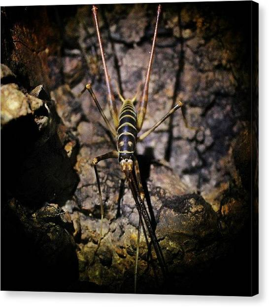 Kiwis Canvas Print - It's Been A While Since I Got My Bug by Brett Starr