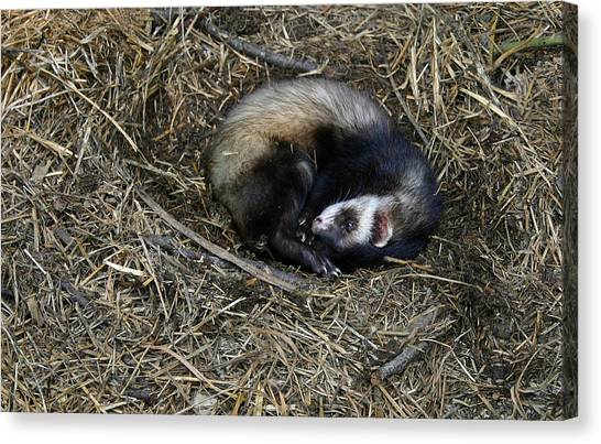 Black-footed Ferret Canvas Print - Its Naptime by Nina Fosdick