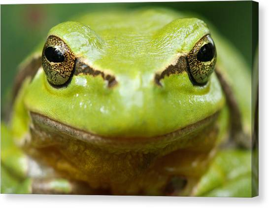 Frogs Canvas Print - It's Not Easy Being Green _ Tree Frog Portrait by Roeselien Raimond