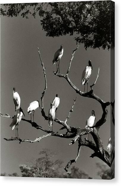 Jabiru Birds Canvas Print