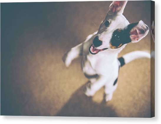 Jack Russell Jumping Canvas Print by James Farley