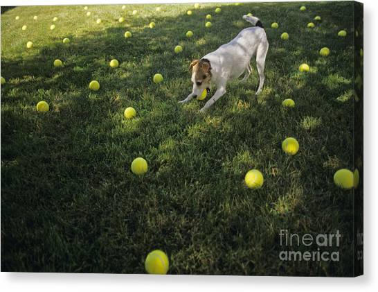 Jack Russell Terrier Tennis Balls Canvas Print