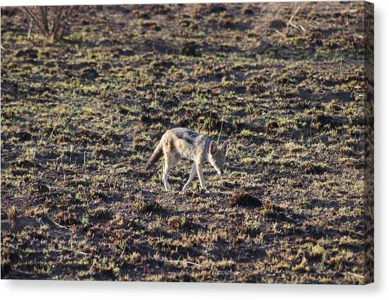 South African Canvas Print - Jackal by Gerbrandt Steyn