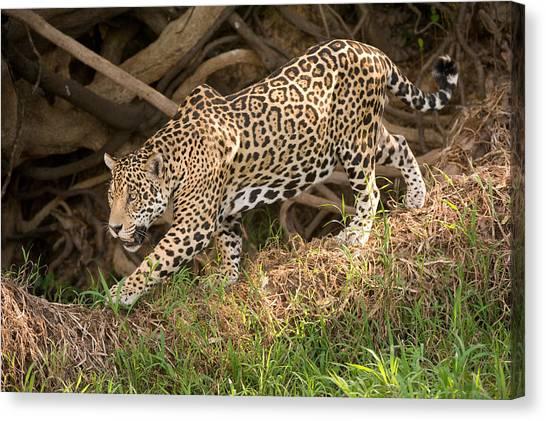 The Pantanal Canvas Print - Jaguar Panthera Onca Foraging by Panoramic Images