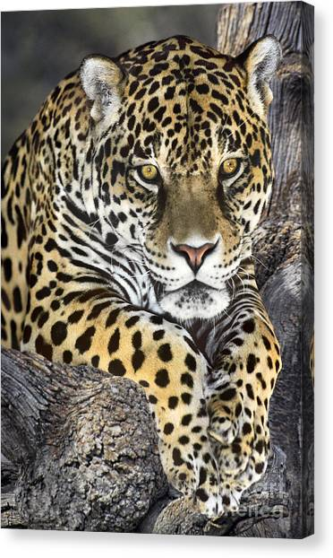 Jaguar Portrait Wildlife Rescue Canvas Print