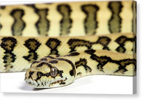 Pythons Canvas Print - Jaguar Variant Carpet Python by Pascal Goetgheluck/science Photo Library