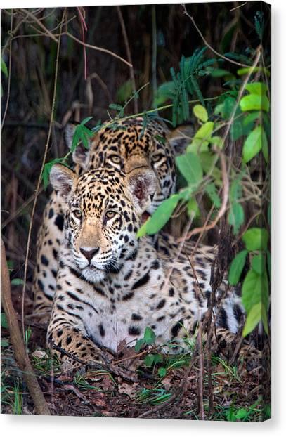 The Pantanal Canvas Print - Jaguars Panthera Onca, Pantanal by Panoramic Images