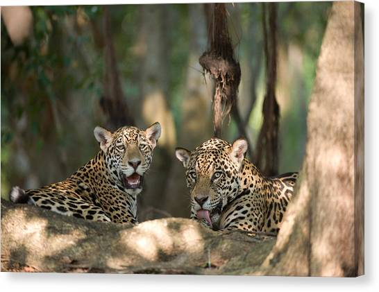 The Pantanal Canvas Print - Jaguars Panthera Onca Resting by Panoramic Images