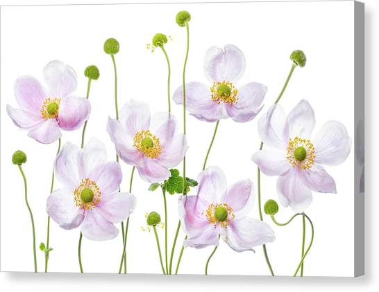 Japanese Gardens Canvas Print - Japanese Anemones by Mandy Disher