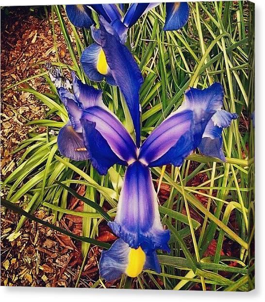 Irises Canvas Print - #japanese #irises #flowernerd by M R M