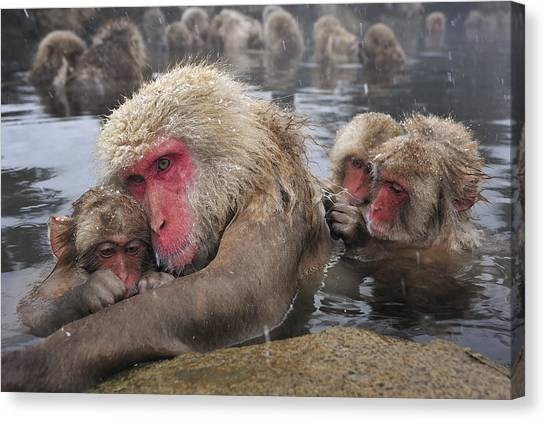 Canvas Print featuring the photograph Japanese Macaque Grooming Mother by Thomas Marent