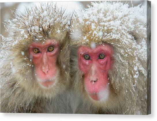 Japanese Macaques Canvas Print by Dr P. Marazzi