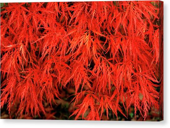 Japanese Maple 'dissectum Nigrum' Canvas Print by Andrew Ackerley/science Photo Library