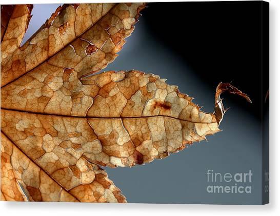 Japanese Maple Leaf Brown - 1 Canvas Print