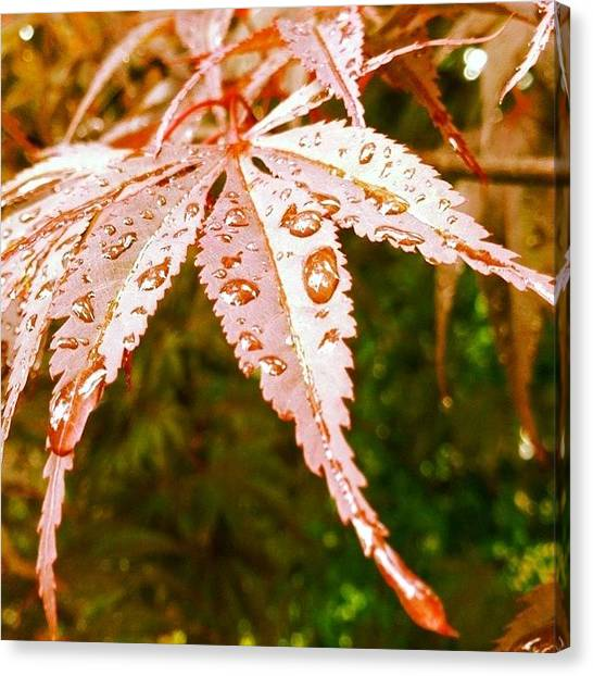 Rain Canvas Print - Japanese Maple Leaves by Marianna Mills