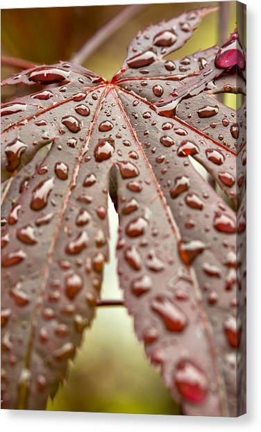 Japanese Maple Tree Leaf Waterdrops Canvas Print