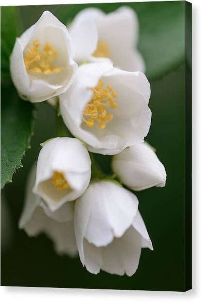 Jasmin Flowers Canvas Print