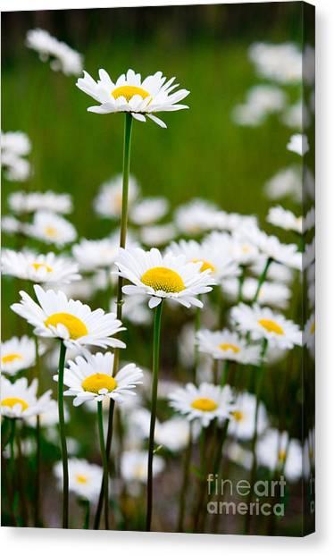 Jasper - Oxeye Daisy Wildflower 2 Canvas Print
